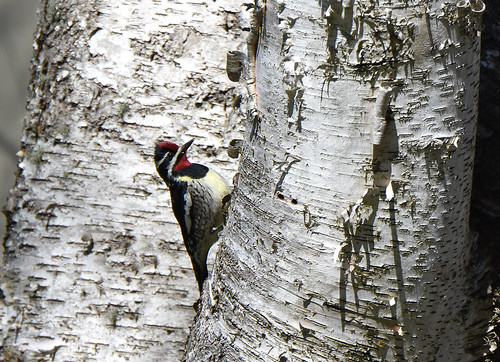 Yellow-bellied Sapsucker1 5-17-19