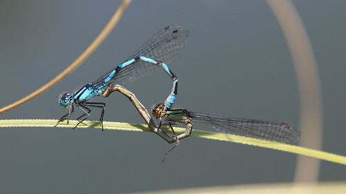 Common Blue Damselfly. Mating wheel