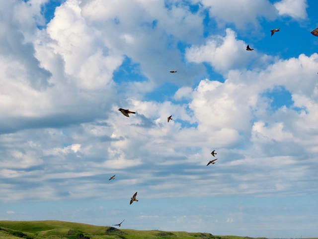 Happy Wing Wednesday!  Barn Swallows in flight