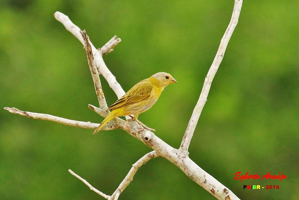Canário-da-terra / Saffron Finch / Sicalis flaveola (2)