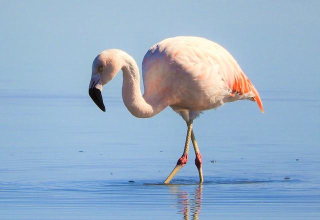 Chilean Flamingo, at Salar de Atacama.