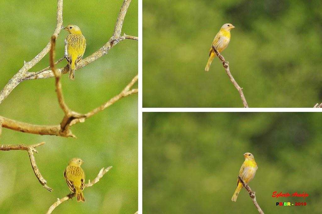 Canário-da-terra / Saffron Finch / Sicalis flaveola (1)