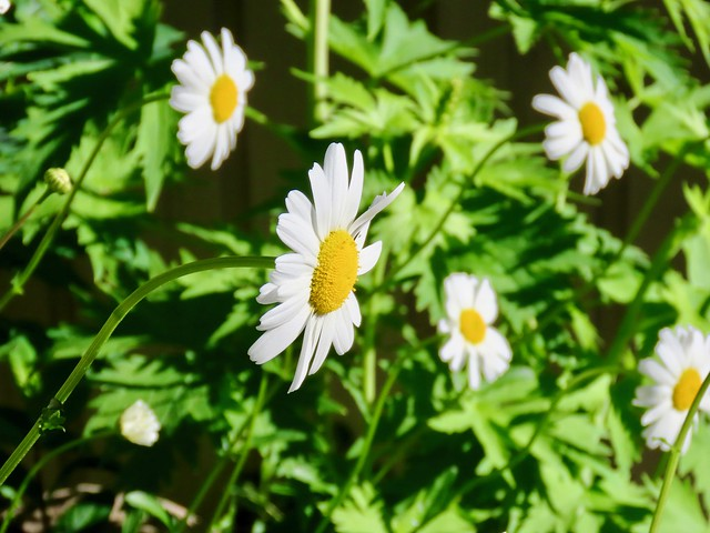 First daisies in the Benlar Garden