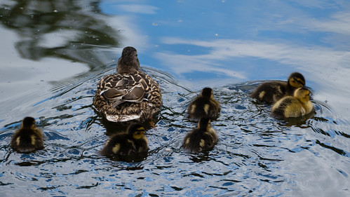 Ducklings, Bag's Pool, Baggeridge