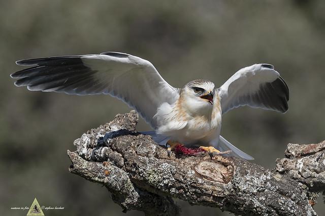 Nibbio Bianco - Elanus caeruleus -                                        Beauty and cruelty