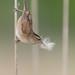 Troglodyte des marais // Marsh Wren
