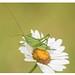Grande sauterelle verte - Bush-crickets
