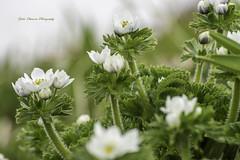 ハクサンイチゲの花