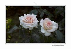 Prince jardinier Meitroni rose clair