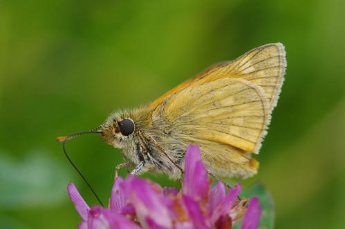brownespiece cambridgeshire ochlodessylvanus butterfly insect largeskipper