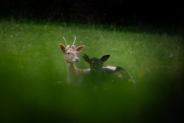 Leucistic Fallow Deer .....