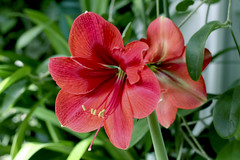 "Amaryllis ""Red and Orange striped"" + Amaryllis ""Grand Diva Red Velvet"" we will get this color."