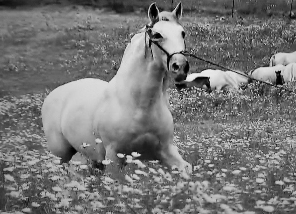 Spanische Kartäuser Pferde , Spanish Carthusian horses, effecte,  (serie) , 76771/11653