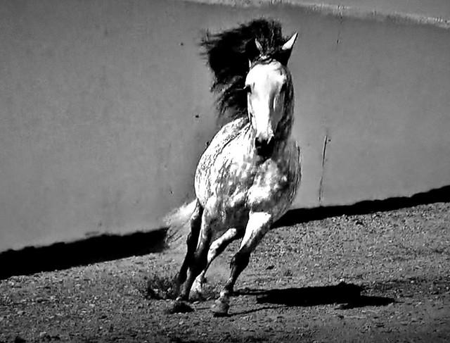 Spanische Kartäuser Pferde , Spanish Carthusian horses, effecte,  (serie) , 76772/11654