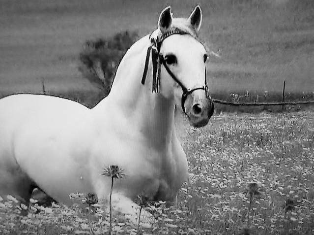 Spanische Kartäuser Pferde , Spanish Carthusian horses, effecte,  (serie) , 76773/11655