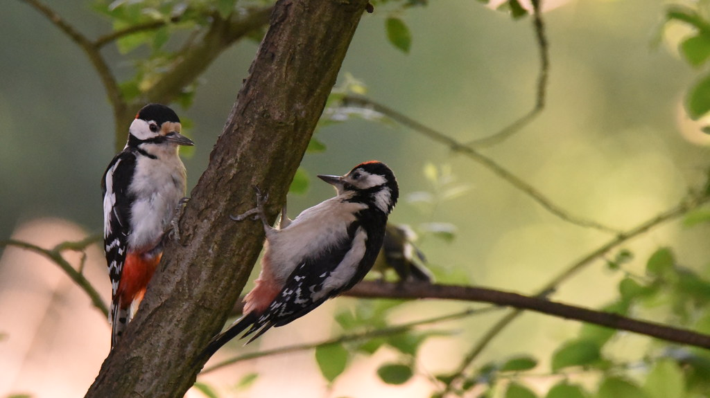 Great Spotted Woodpeckers Dinton Pastures Rq Uk Flickr