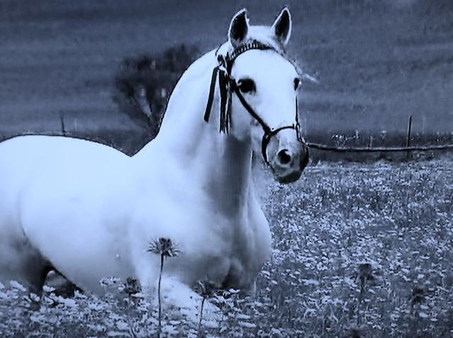 Spanische Kartäuser Pferde , Spanish Carthusian horses, effecte,  (serie) , 76770/11652