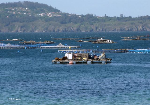 Mejilloneras. Mussels farming.