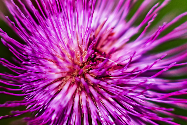 Thistle From Above