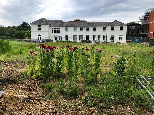 Peony Poppies Growing Wild