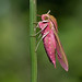 Elephant Hawk-moth-41