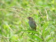 Henslow's Sparrow/ Skeen Rd.-Highland County/ 6-28-2019