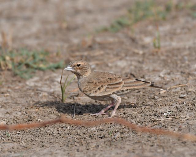 Ashy-crowned Sparrow-lark