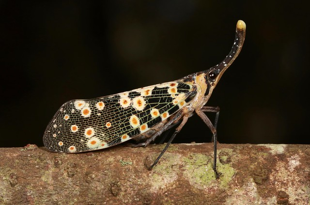 Lanternfly (Pyrops cf. lathburii, Fulgoridae)