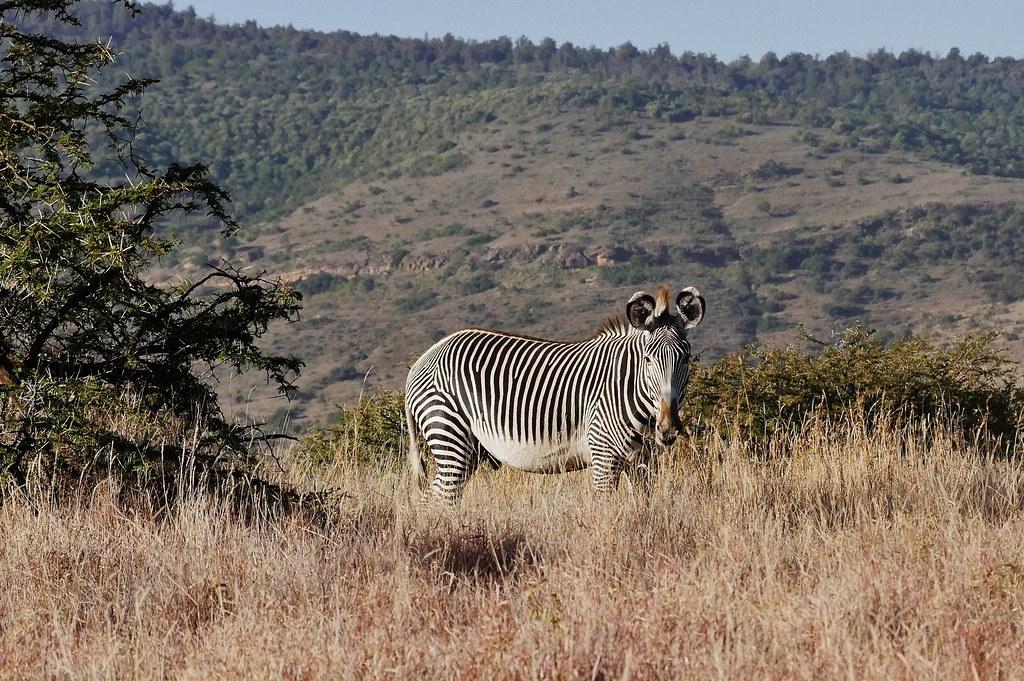 Grevy Zebra Alone (Equus grevyi)