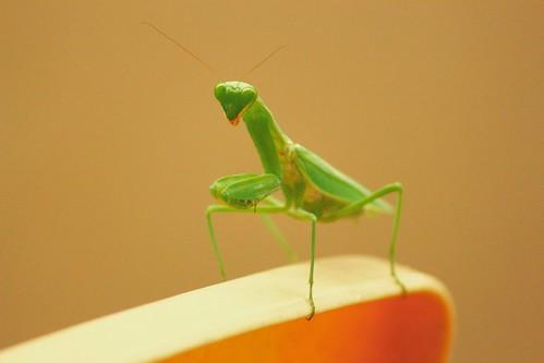 Praying Mantis!!!