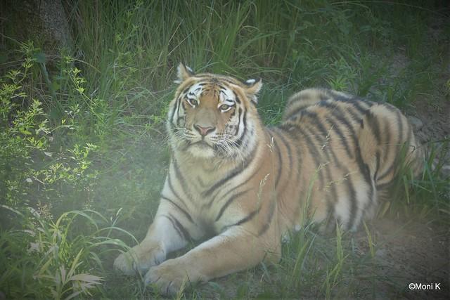 18-Tigermännchen