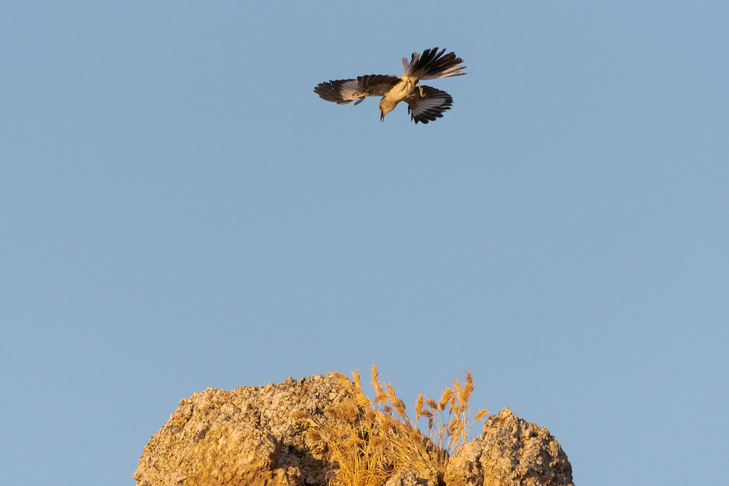 A northern mockingbird flares out its wings and tail to arrest its climb during a territorial display along the Marcus Landslide Trail in McDowell Sonoran Preserve in Scottsdale, Arizona in June 2019