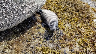june 25 2019 - premature Seal pup | by boonibarb