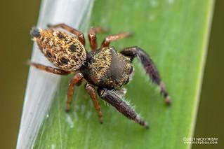 Jumping spider (Bianor angulosus) - DSC_1499