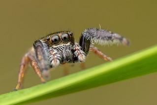 Jumping spider (Bianor angulosus) - DSC_1516
