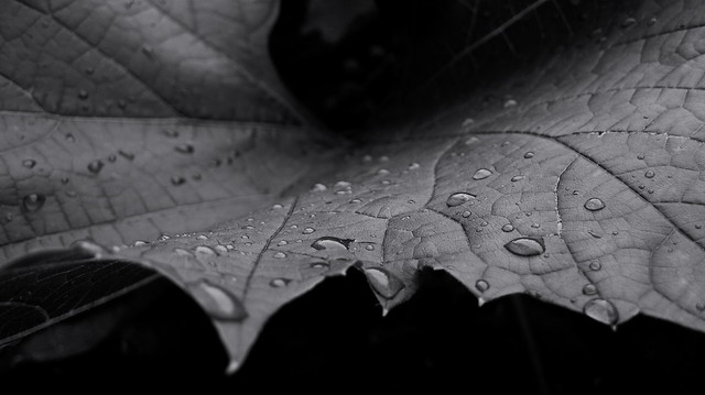 Raindrops on a grape leaf. Monochrome.