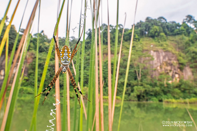 Chained cross spider (Argiope catenulata) - DSC_1823b