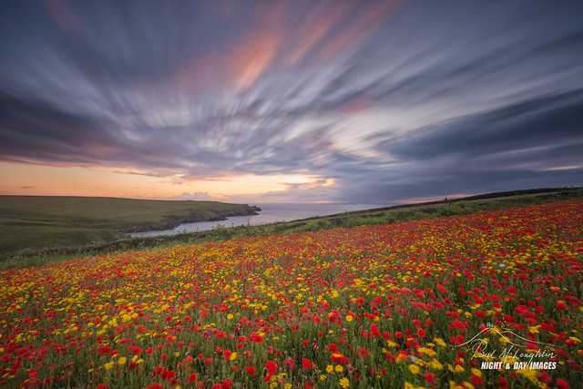 'Winded Poppies' - West Pentire