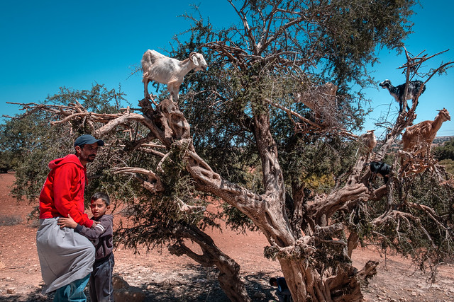 F3342 ~ The climbing goats of Morocco