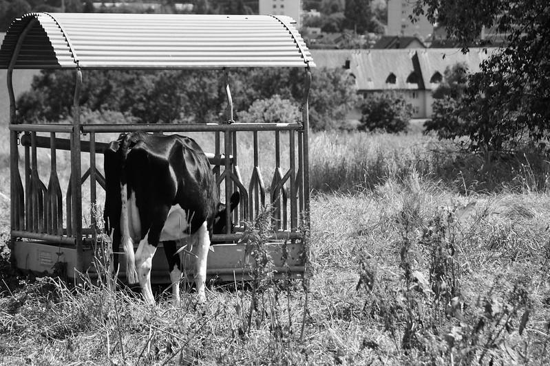Cows 16.06 (4)