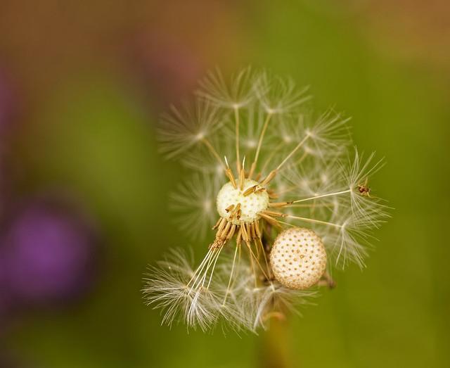 Le pissenlit avait invité une araignée à voler. - The dandelion had invited a spider to fly.