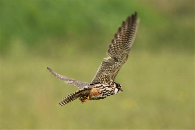 The Hobby or Eurasian hobby (Falco subbuteo) Dungeness RSPB