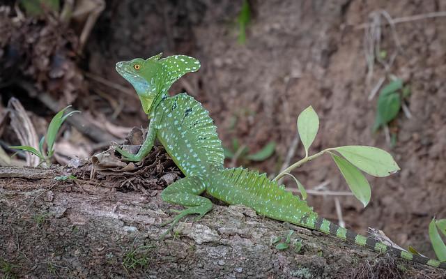 Emerald Basilisk (male)