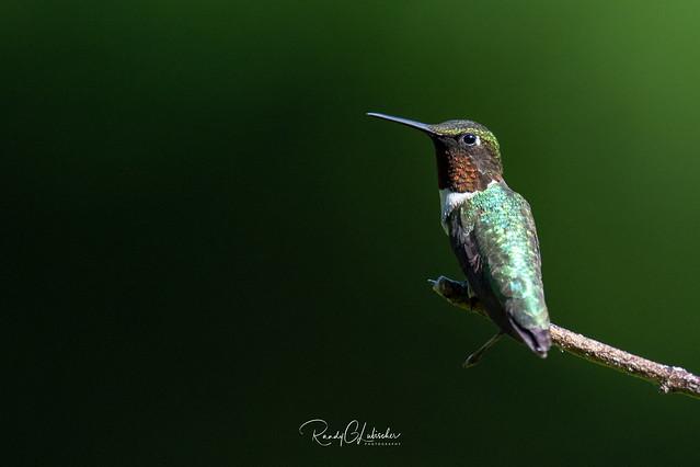Ruby-throated hummingbird - Archilochus colubris | 2019 - 3