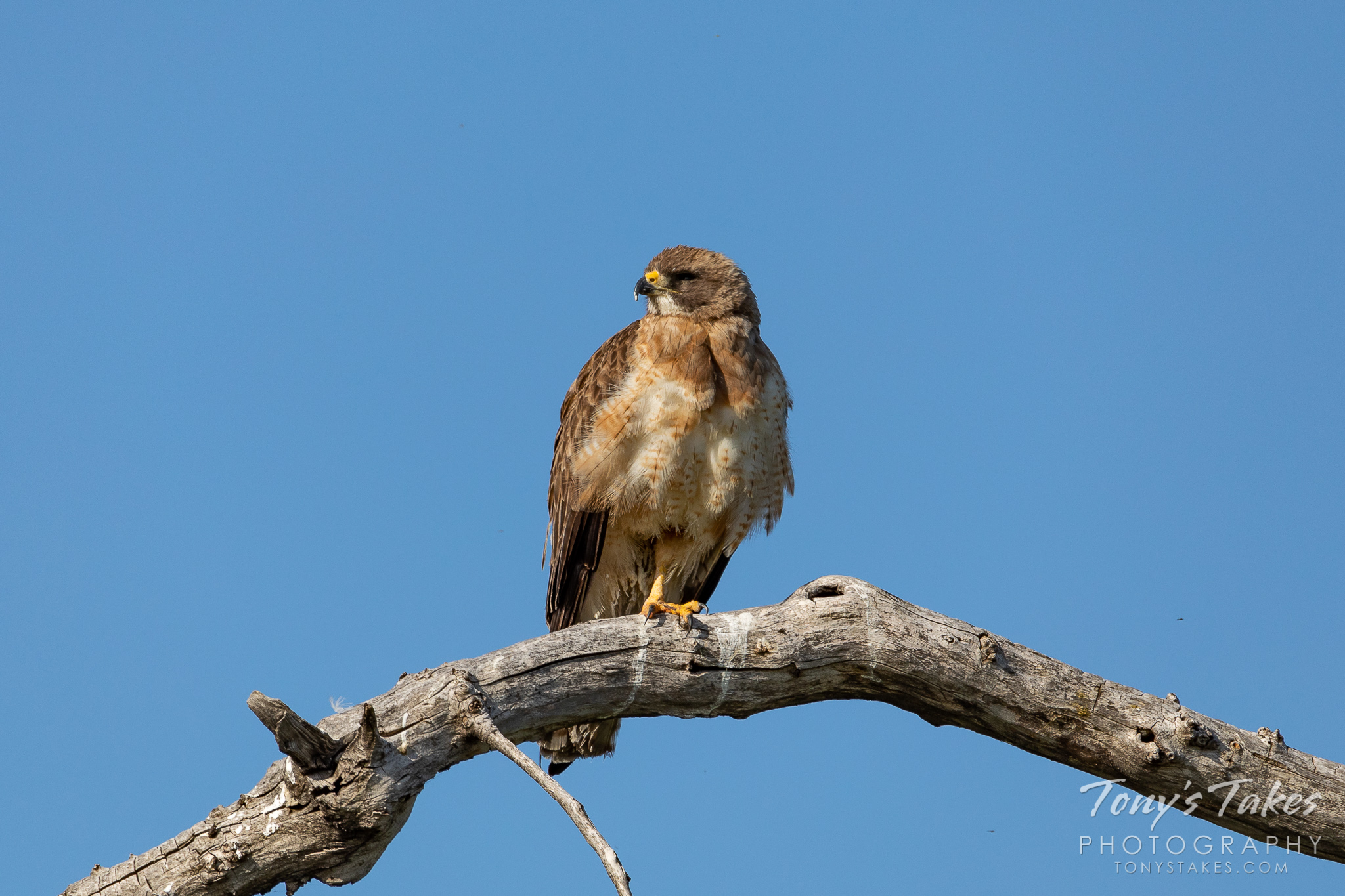 A Swainson's hawk looks into the rising sun. (© Tony's Takes)