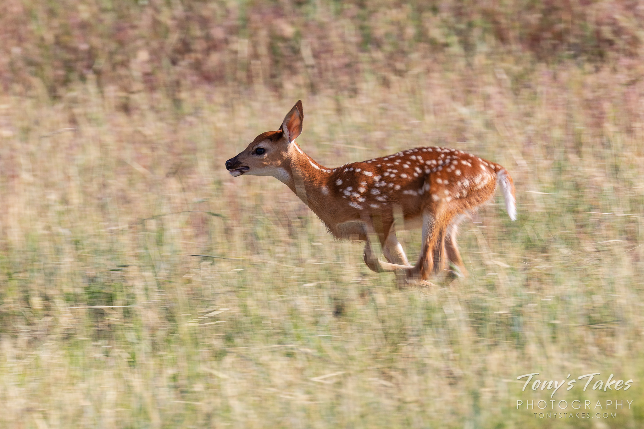 A white-tailed deer fawn bounds through the grass of the Rocky Mountain Arsenal National Wildlife Refuge. (© Tony's Takes)