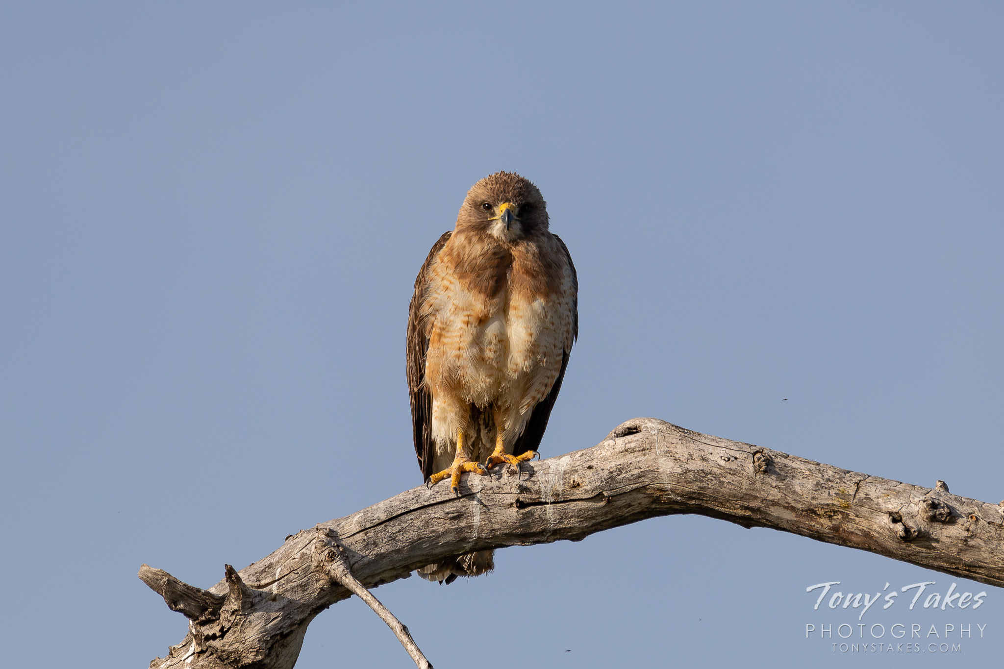 Swainson's hawk struggles to stay awake