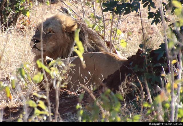 Lion, Chobe NP, Botswana