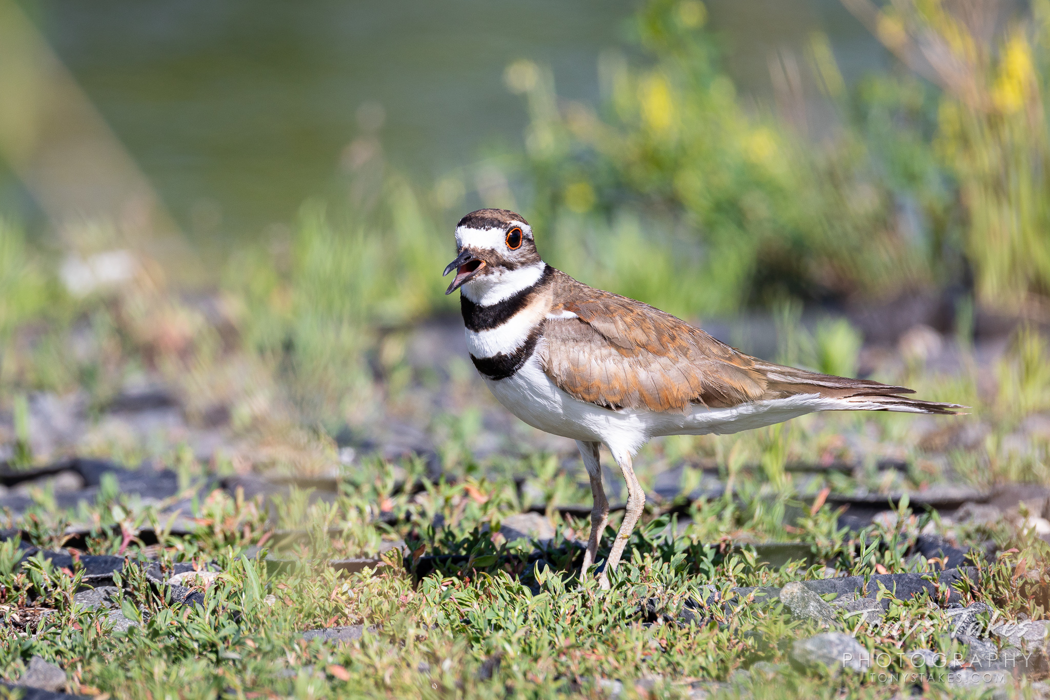 A killdeer makes a lot of noise in Thornton, Colorado. (© Tony's Takes)