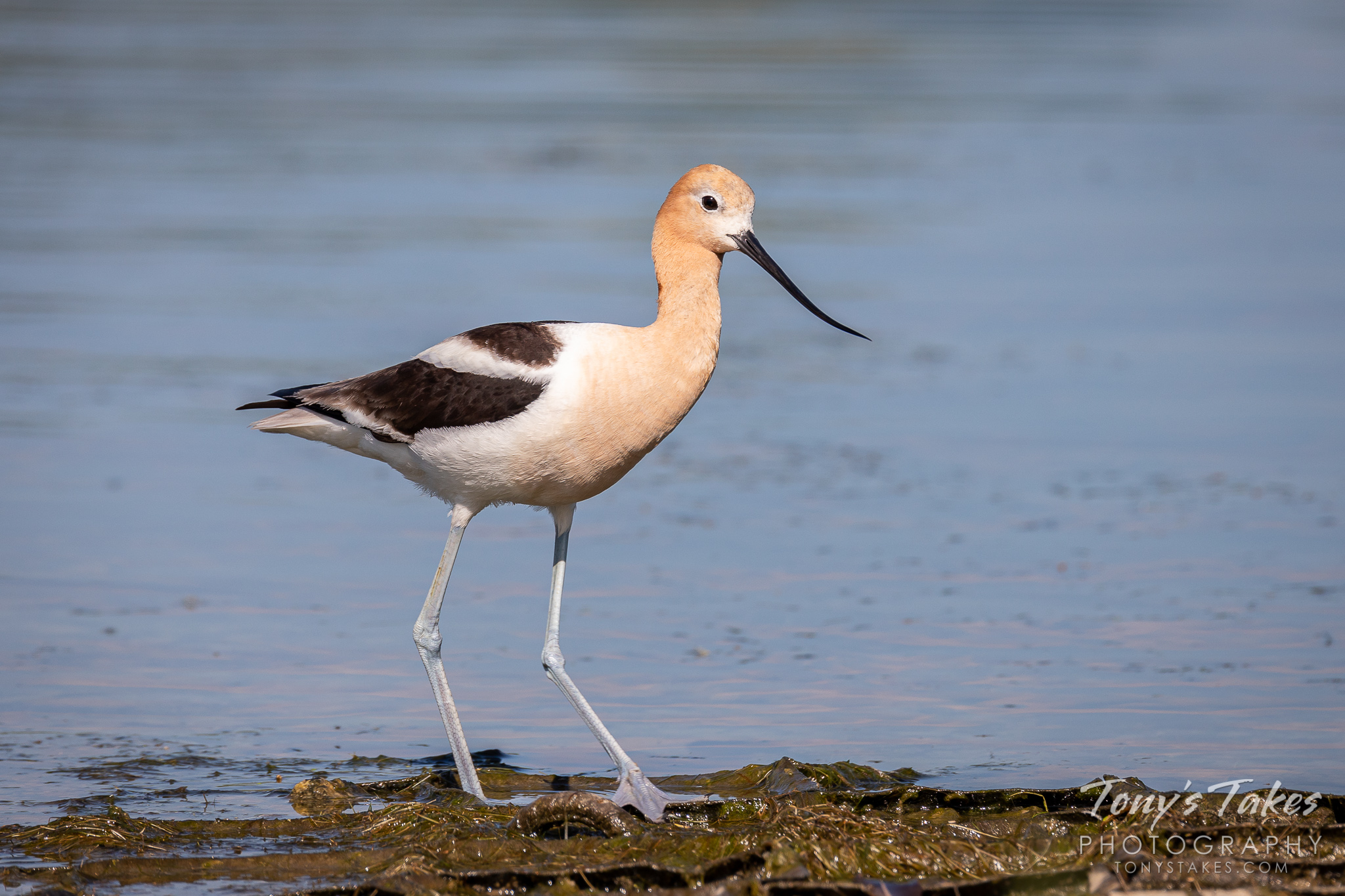 An American avocet wades in the waters in the Eastlake area of Thornton, Colorado. (© Tony's Takes)